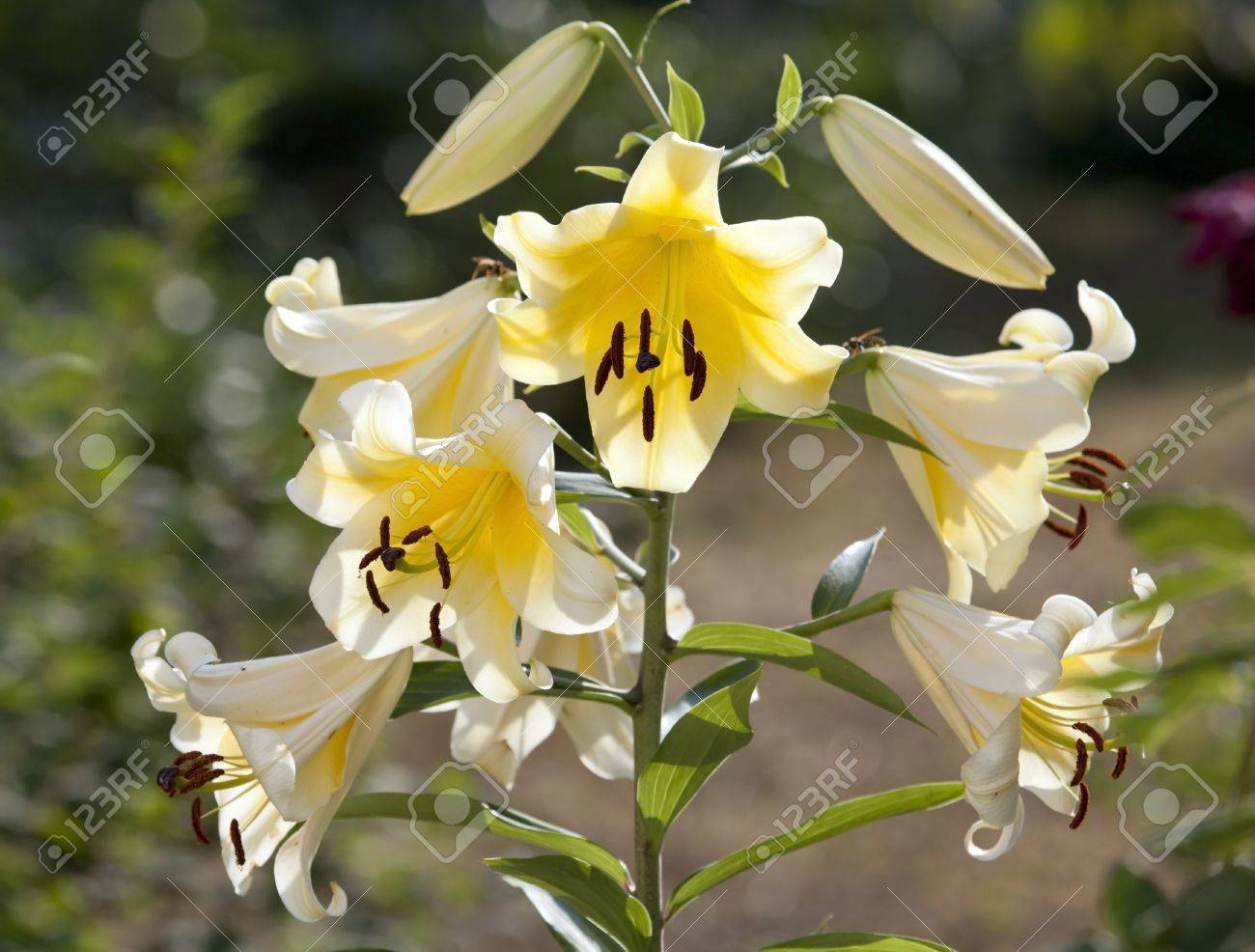 Many flowers of lily on one stem stock photo picture and royalty many flowers of lily on one stem stock photo 20630336 izmirmasajfo