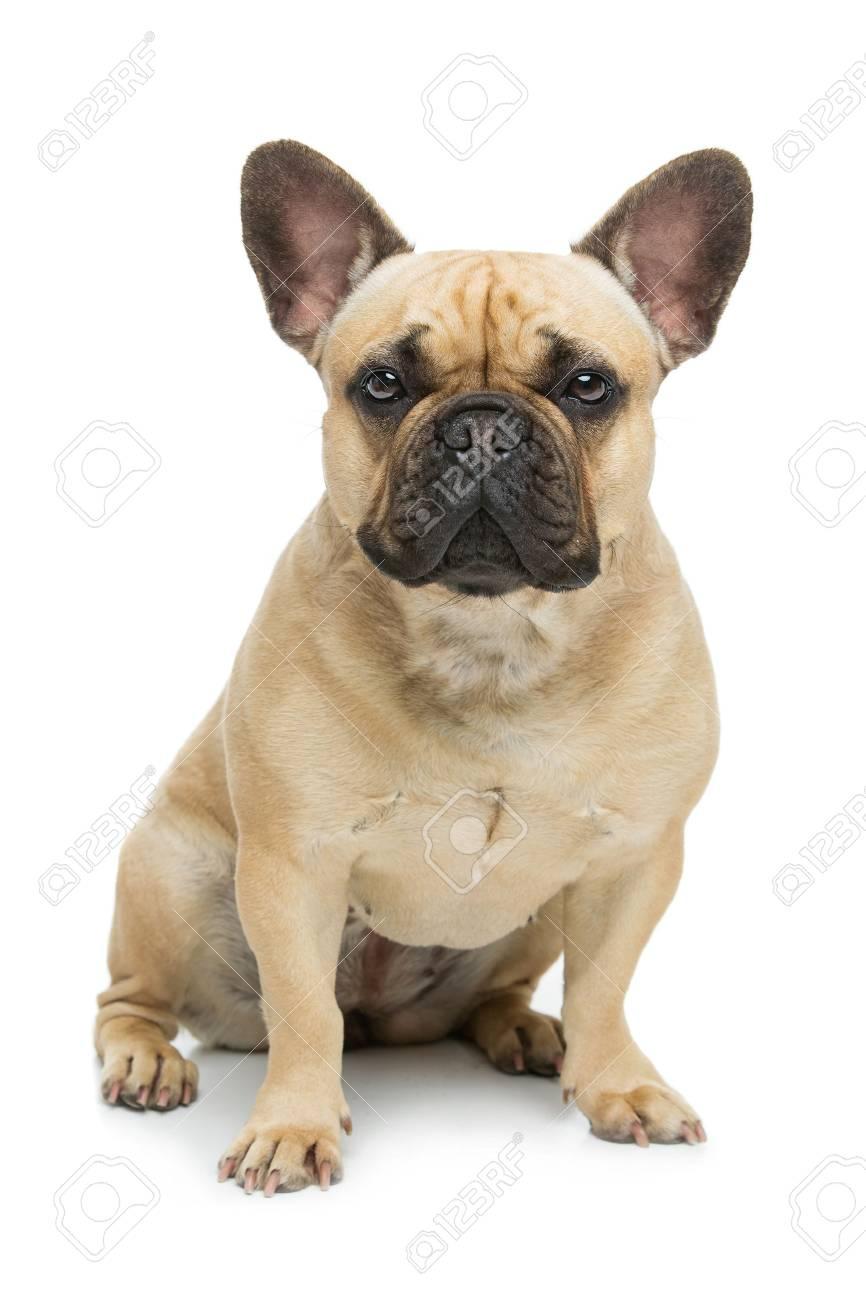 Beautiful french bulldog dog - 71732215