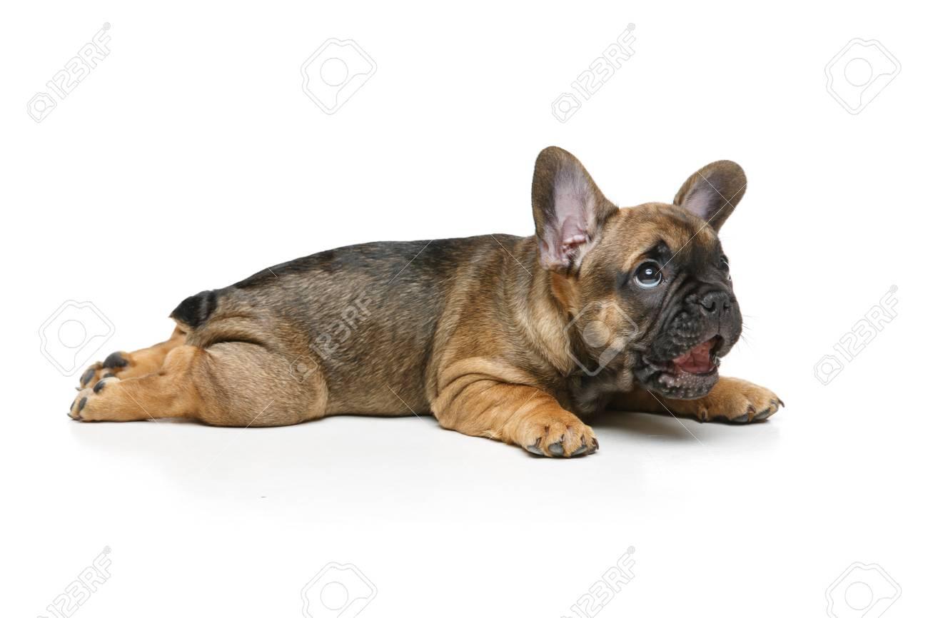 Cute french bulldog puppy stock photo picture and royalty free cute french bulldog puppy stock photo 83260037 nvjuhfo Choice Image