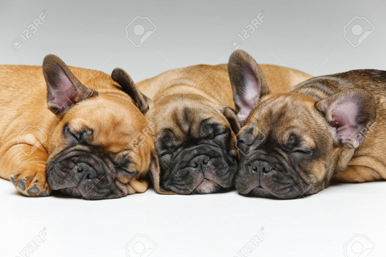 cute french bulldog puppies sleeping stock photo, picture and