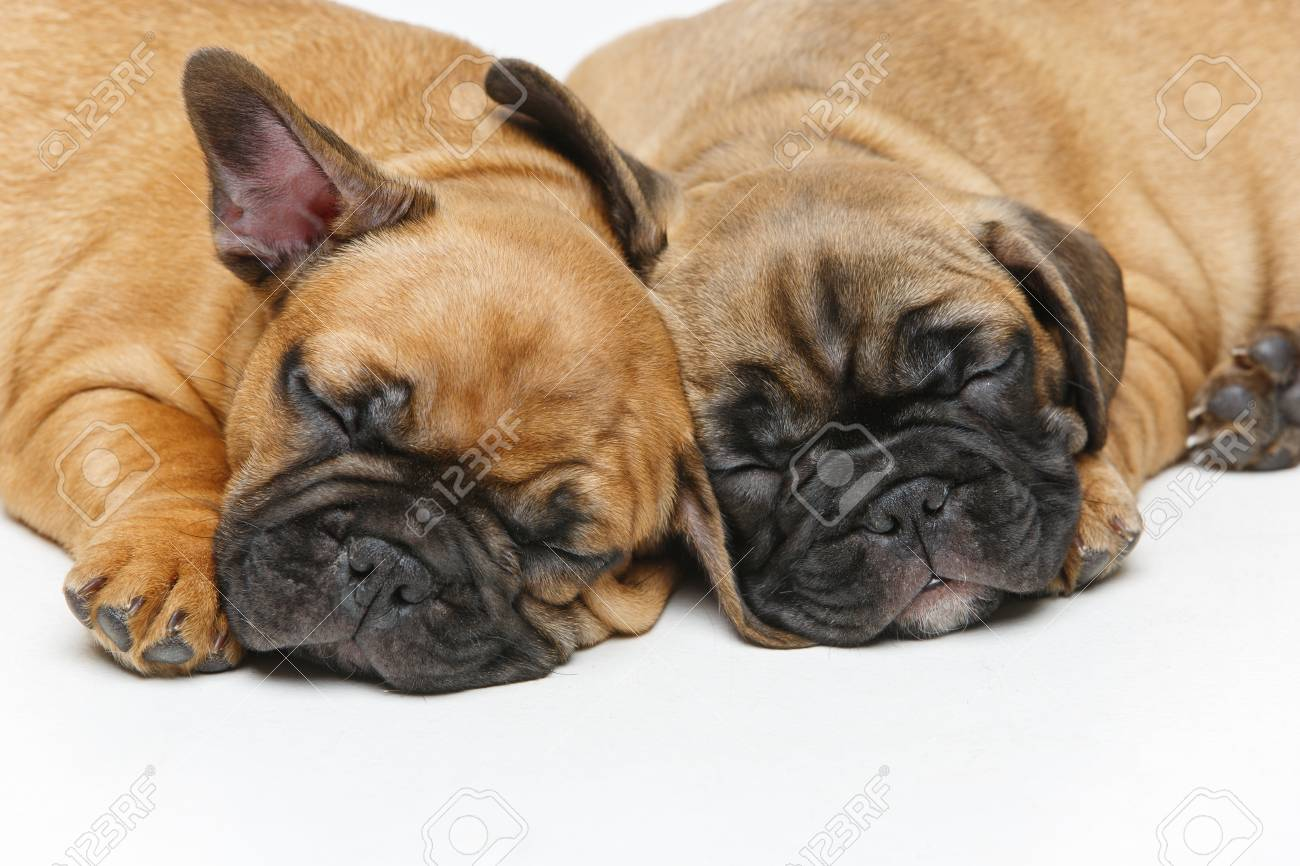 Cute French Bulldog Puppies Sleeping Stock Photo Picture And