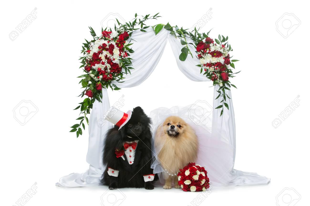 白い背景で隔離の花のアーチの下に座って美しいスピッツ結婚式の