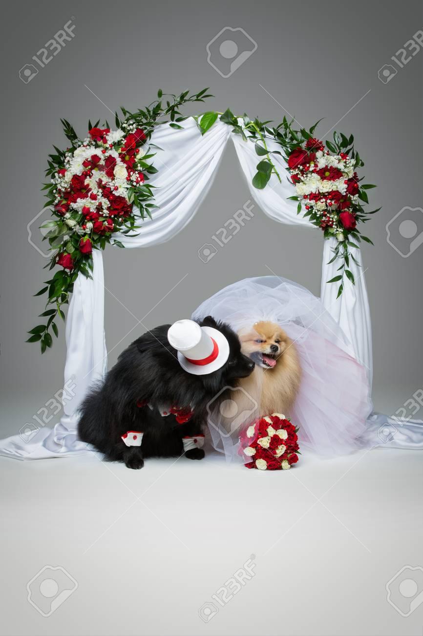 美しいスピッツの結婚式の花の下でキスは 灰色の背景の上アーチします