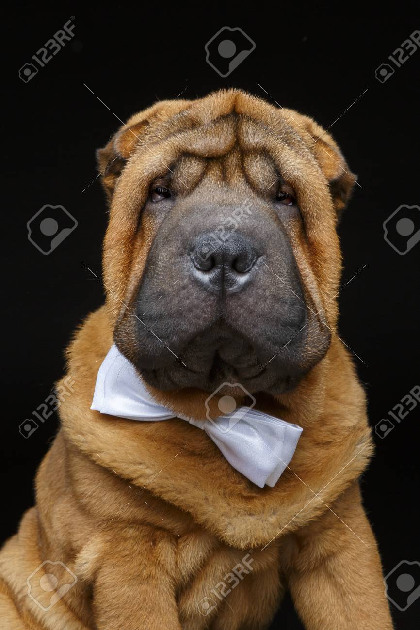 Beautiful Bow Tie Bow Adorable Dog - 89715474-adorable-little-shar-pei-puppy-dog-with-white-bow-tie-studio-shot-on-black-background-copy-space-  Graphic_469285  .jpg