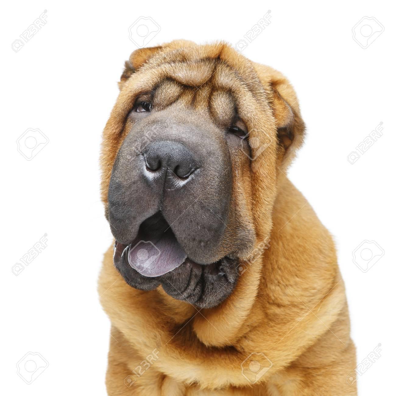 beautiful shar pei puppy - 92676887