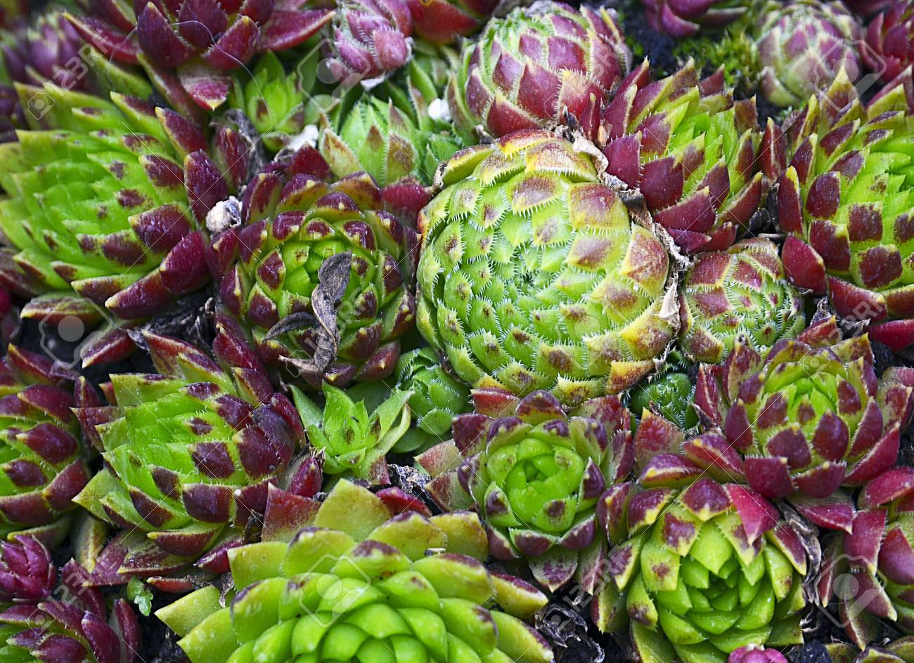 Green And Purple Succulent Plants As A Background Purple Aeonium Stock Photo Picture And Royalty Free Image Image 68118328