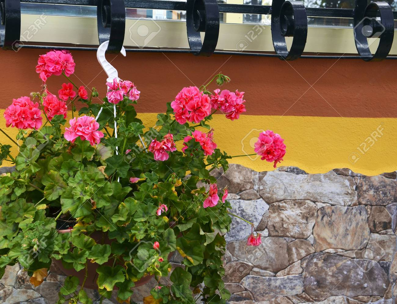 geranium plant with pink flowers in hanging flower pot on stone