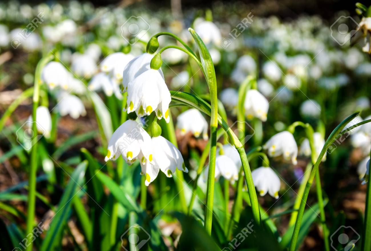 the first flowers of spring snowdrops flowers on a background