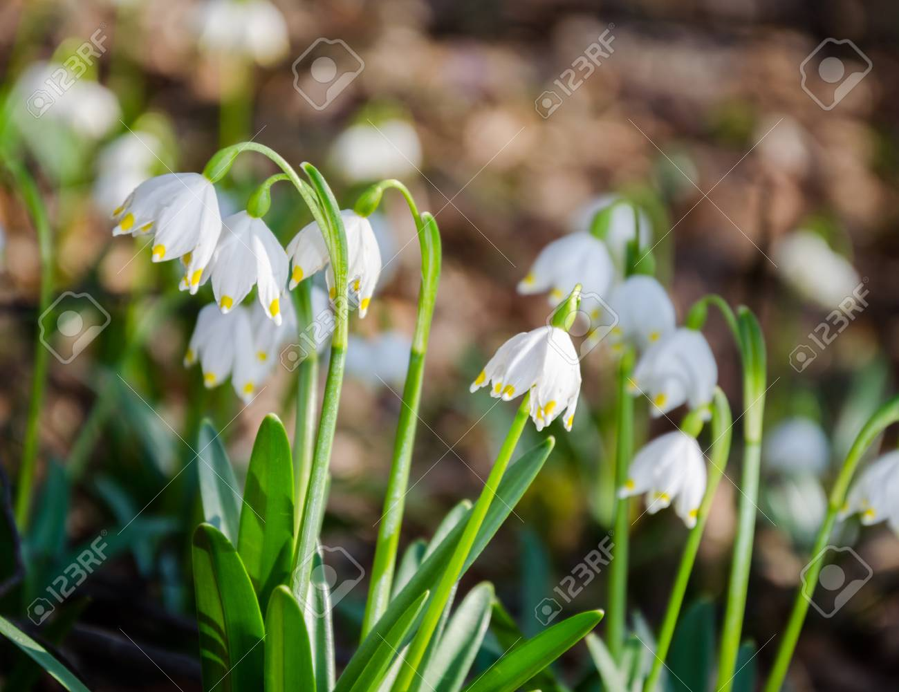 First Flowers Of Spring Snowdrops Flowers On A Background Of