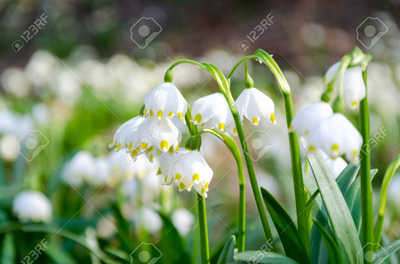 Stock Photo - The first flowers of spring. Snowdrops flowers on a  background of a spring forest. Flowers in the sun. fd3516b679f8d