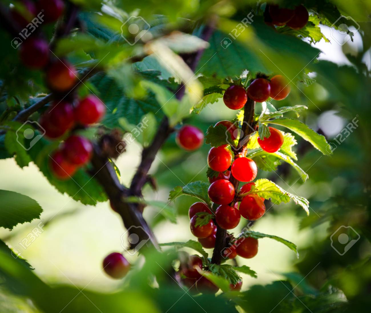 Green Shrubs With Red Berries Currants On Branches Stock Photo