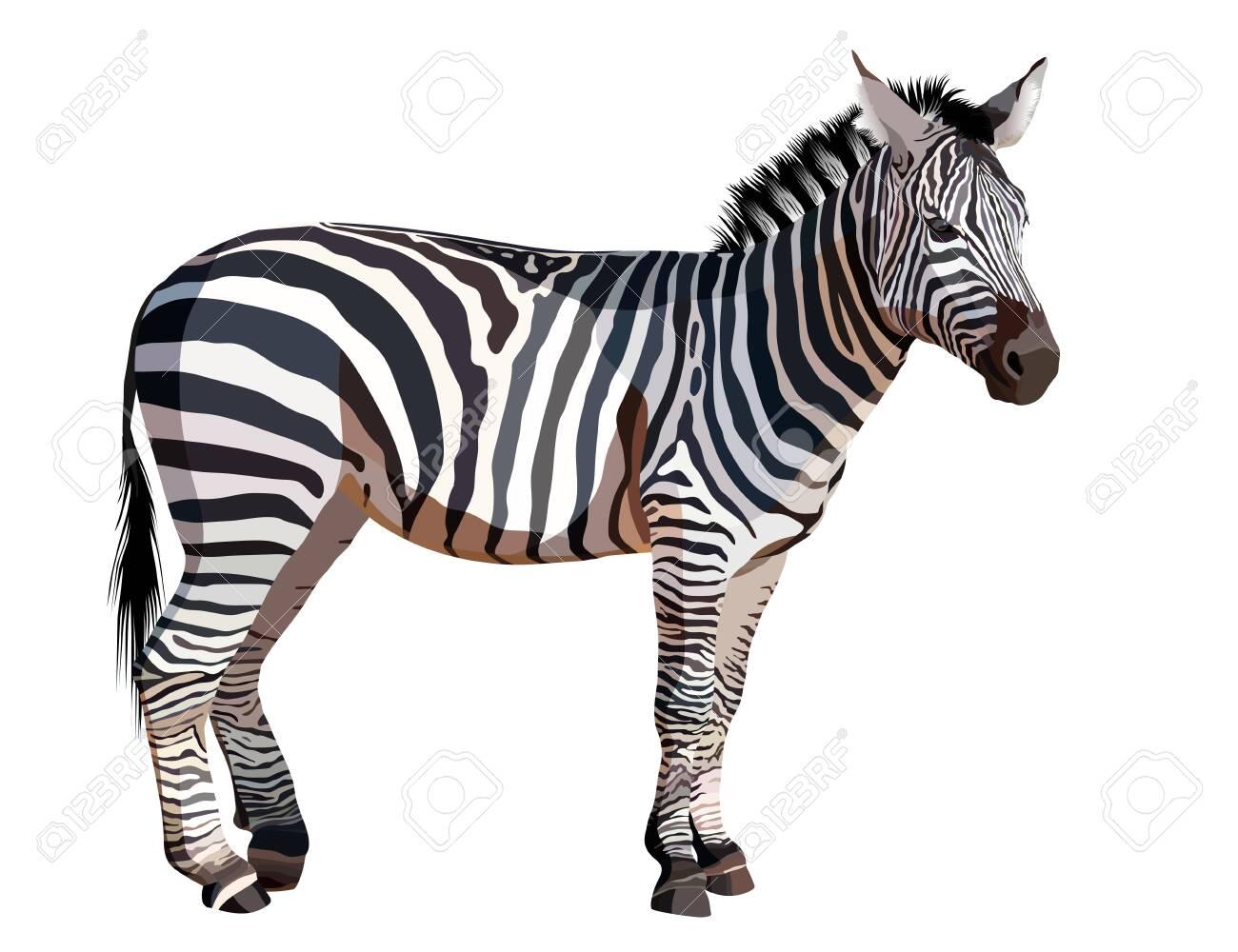 African zebra on white background vector illustration - 121009827