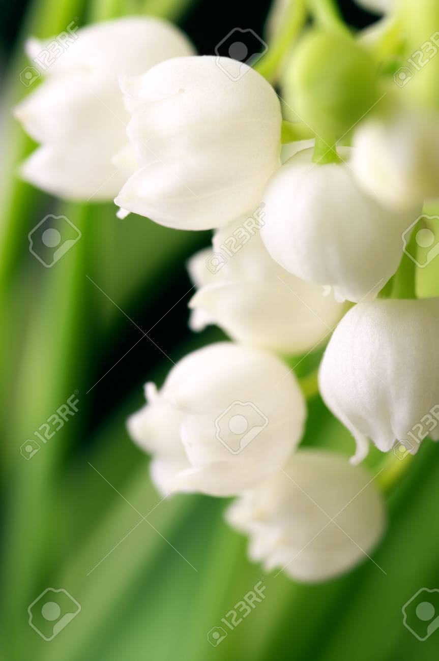Lily of the valley close-up in green leaves. Stock Photo - 7025671