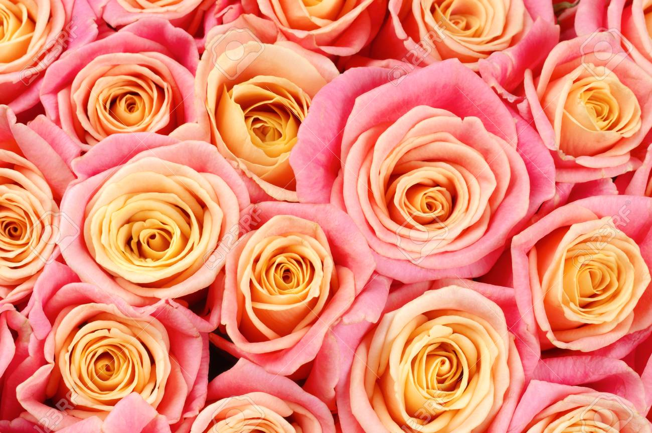 Bunch Of Pink And Yellow Bicolored Rose Flowers Close Up As