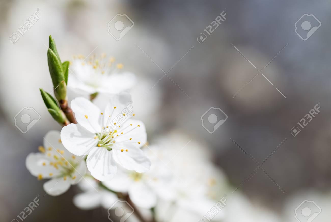 Beautiful blooming tree gentle white flowers of fruit tree stock beautiful blooming tree gentle white flowers of fruit tree stock photo 57221836 mightylinksfo