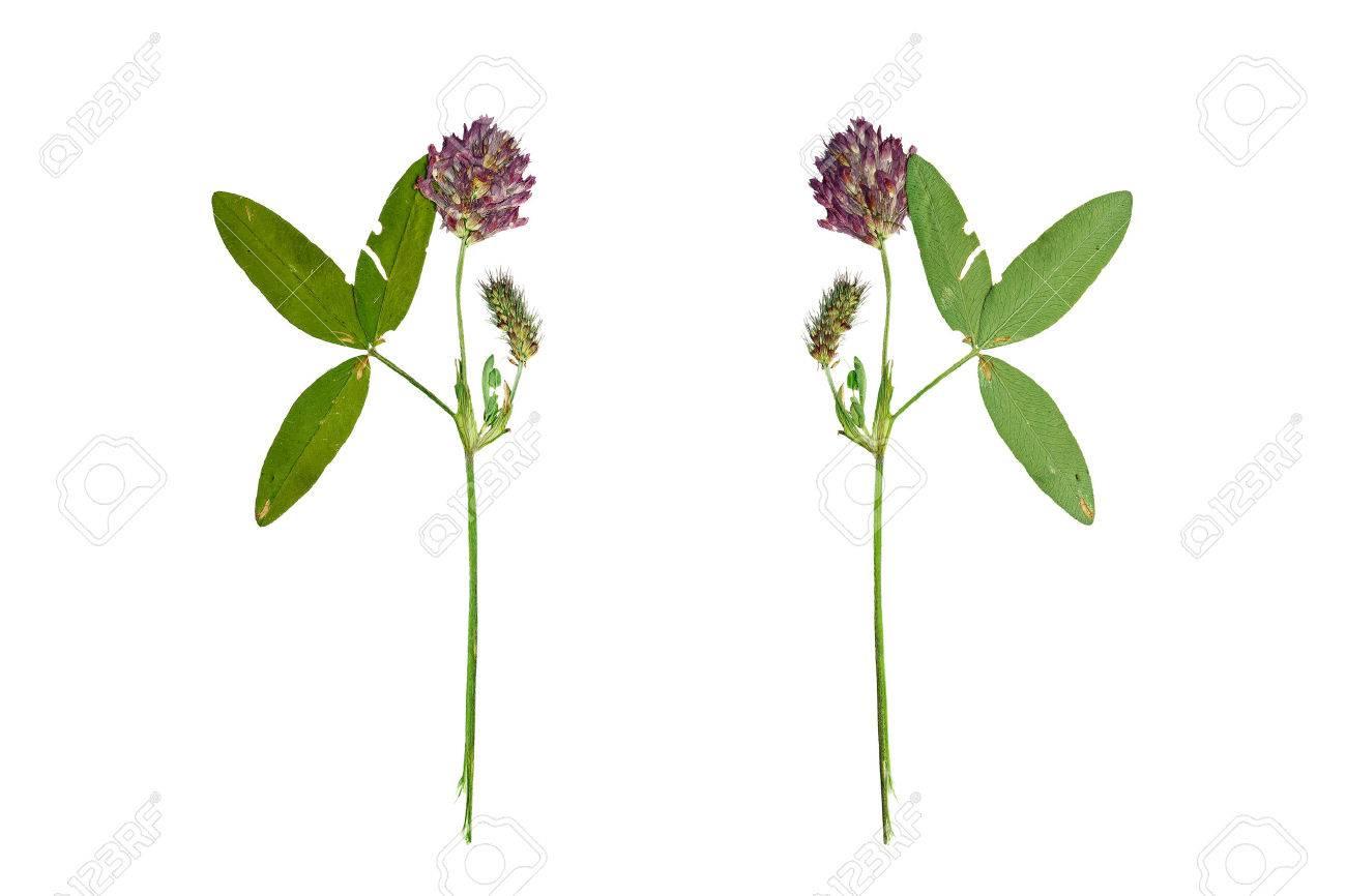 Fleur De Trefle Rouge Ou Trifolium Pratense Pressee Et Sechee