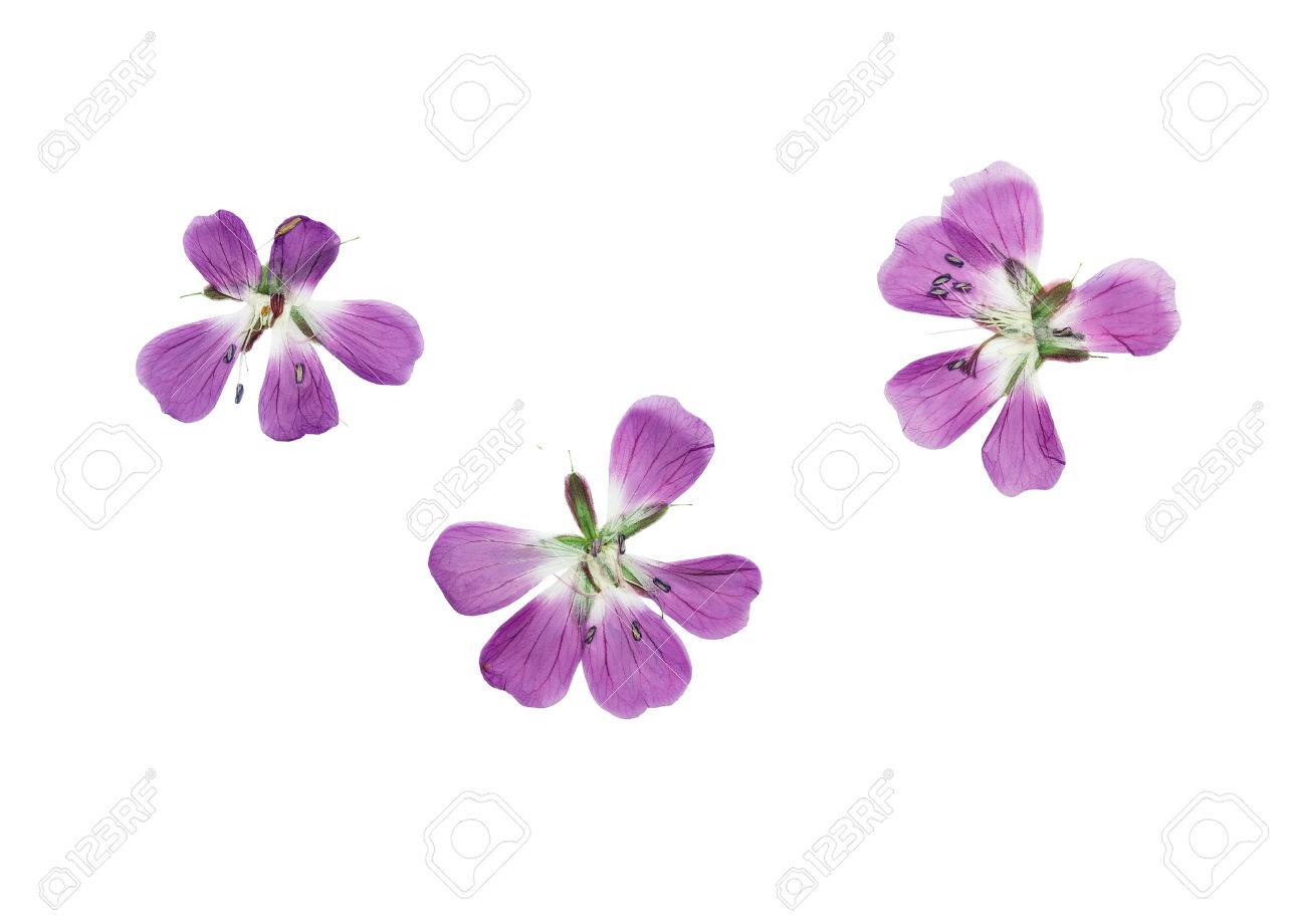 How to scrapbook dried flowers - Pressed And Dried Flowers Geranium Pratense Isolated On White Background For Use In Scrapbooking