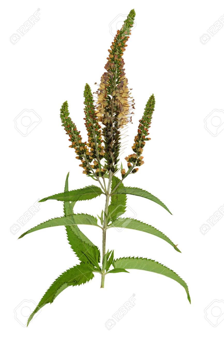 Pressed and dried flowers veronica spicata isolated on white pressed and dried flowers veronica spicata isolated on white background for use in scrapbooking mightylinksfo