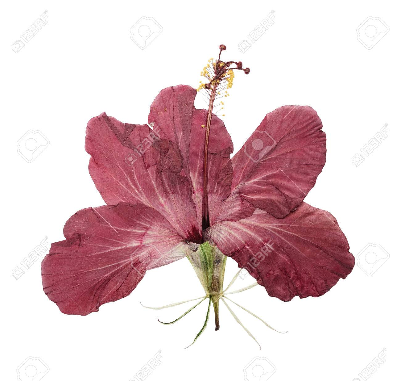 Pressed And Dried Flower Hibiscus Isolated On White Background