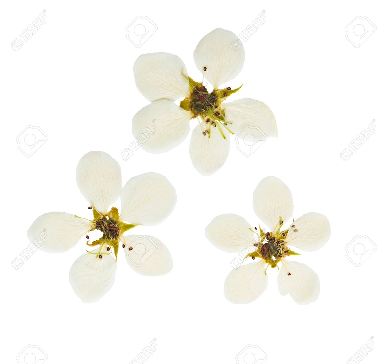 Pressed And Dried White Delicate Transparent Flower Apple Tree