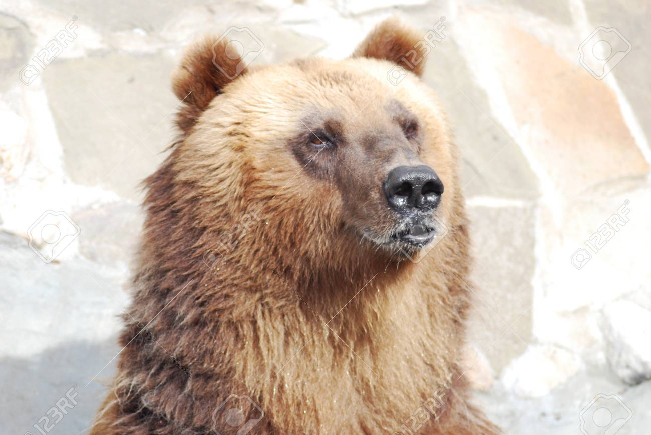 The brown bear close up, wild life Stock Photo - 14108980