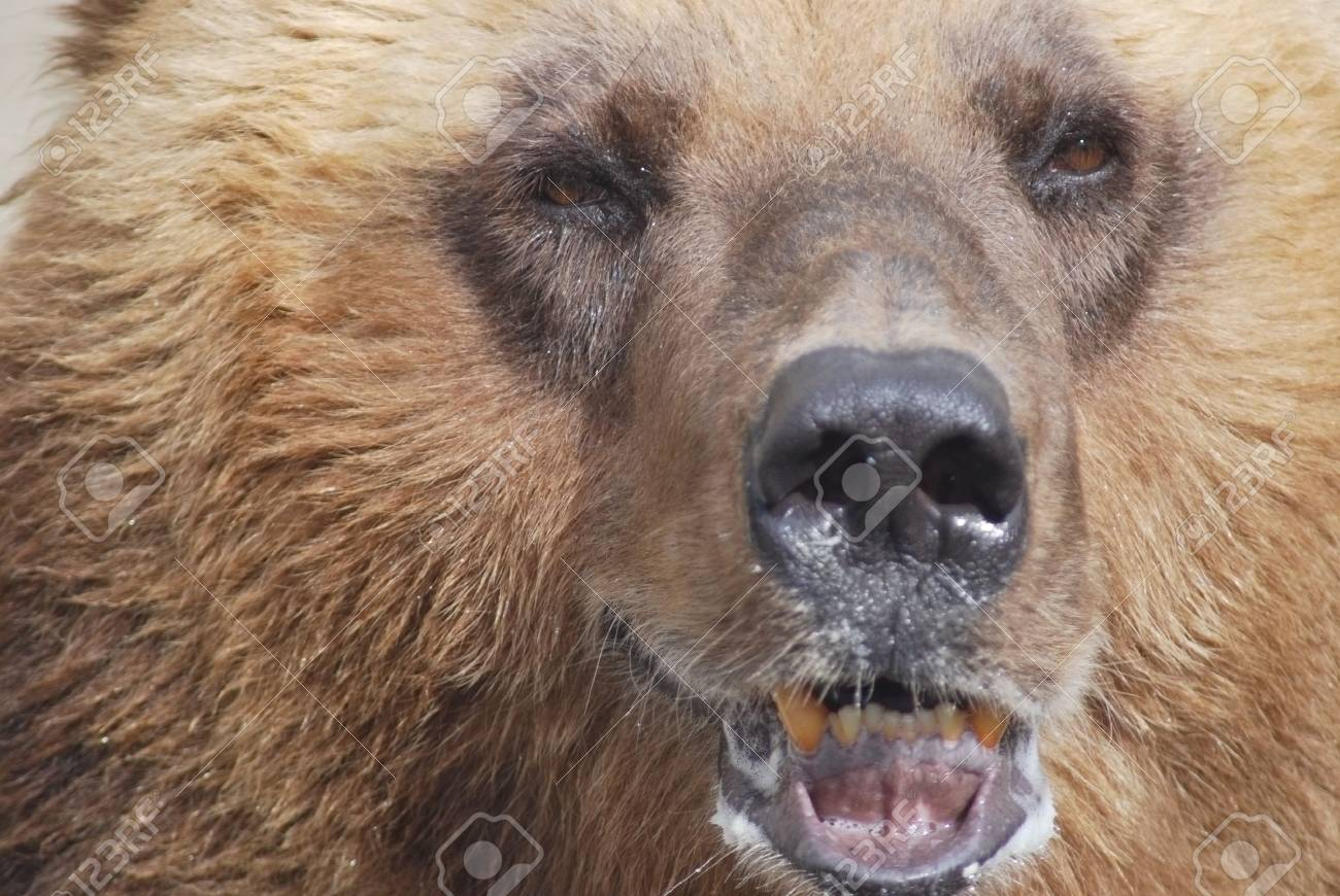 The brown bear close up, wild life Stock Photo - 14109011