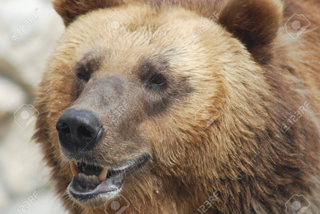 The brown bear close up, wild life Stock Photo - 14109003