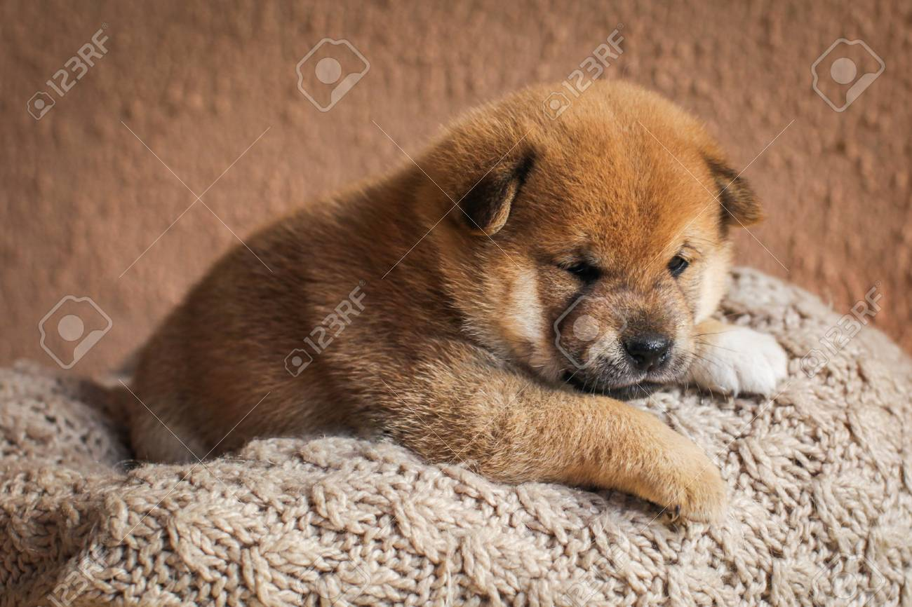 Portrait Of Cute Red Colored Shiba Inu Puppy Dog In Basket Lovely Stock Photo Picture And Royalty Free Image Image 93002376