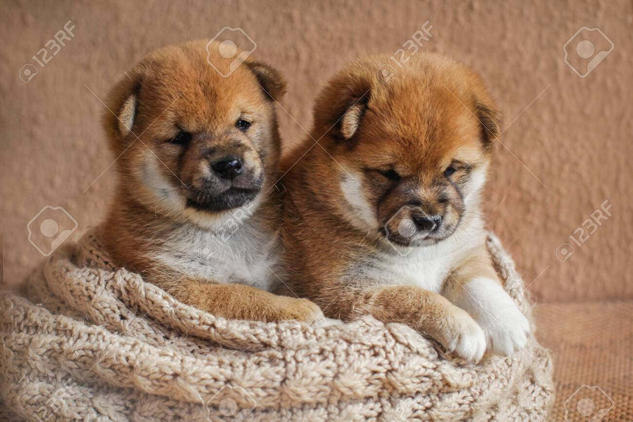Portrait Of Cute Red Colored Shiba Inu Puppy Dog In Basket Stock Photo Picture And Royalty Free Image Image 128220677