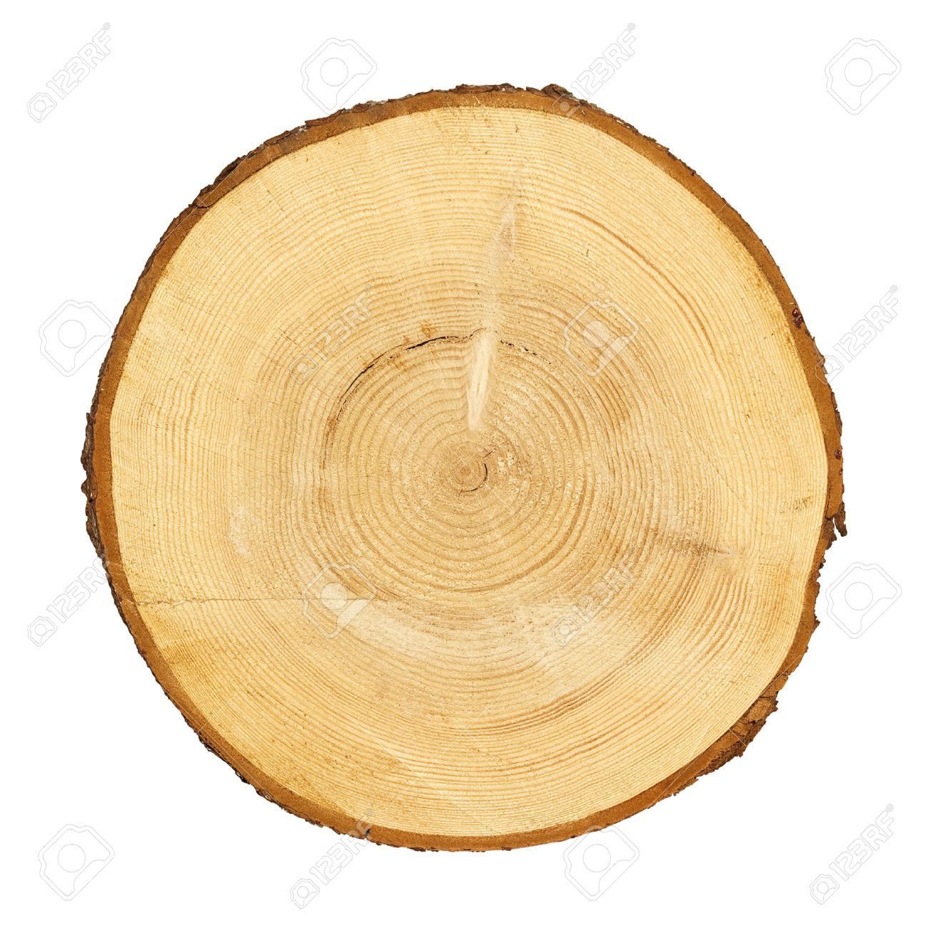 tree trunk cross section isolated on white clipping path included