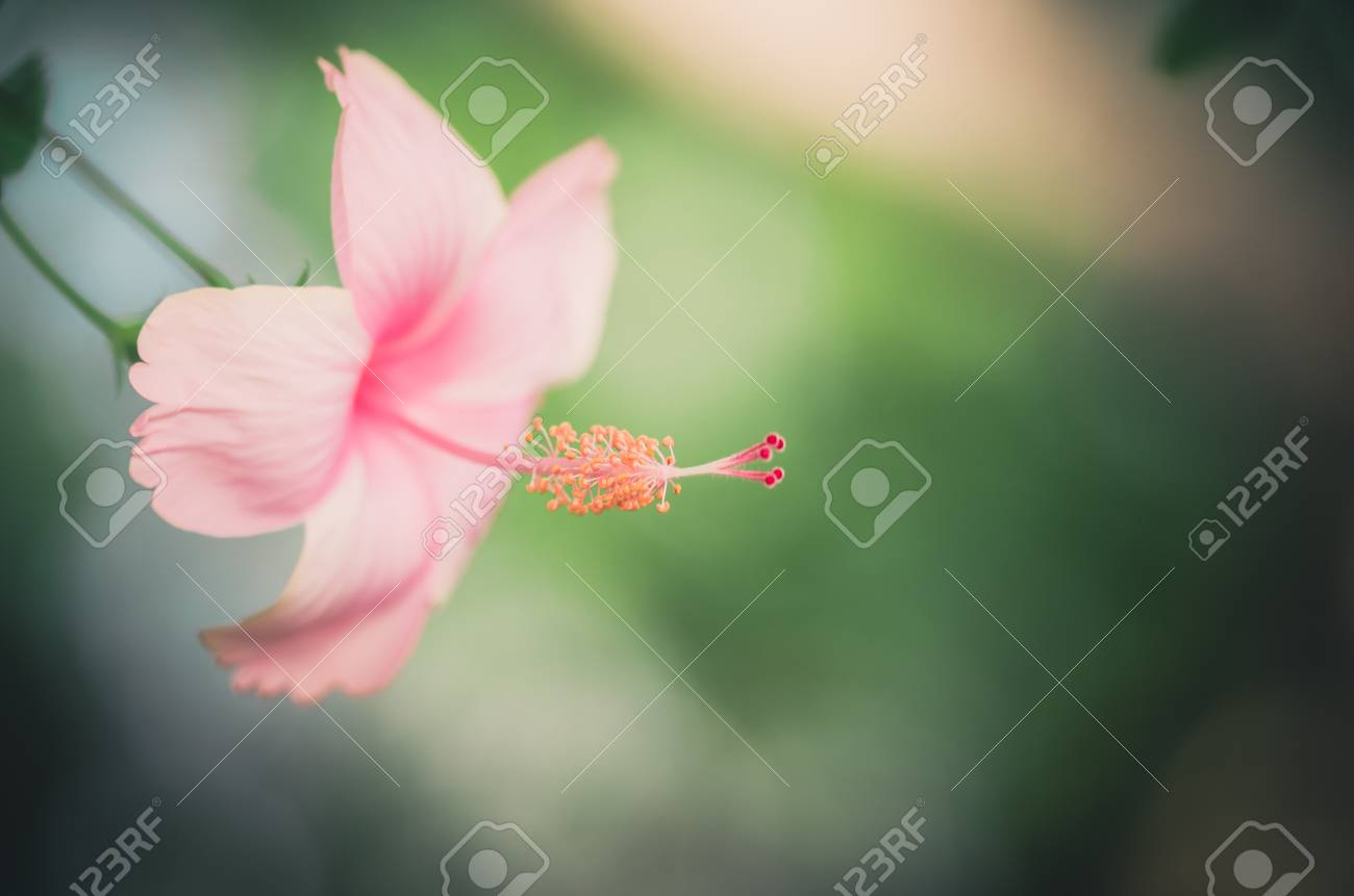 Shoe Flower Or Hibiscus Or Chinese Rose Or Hibiscus Rosa Sinensis