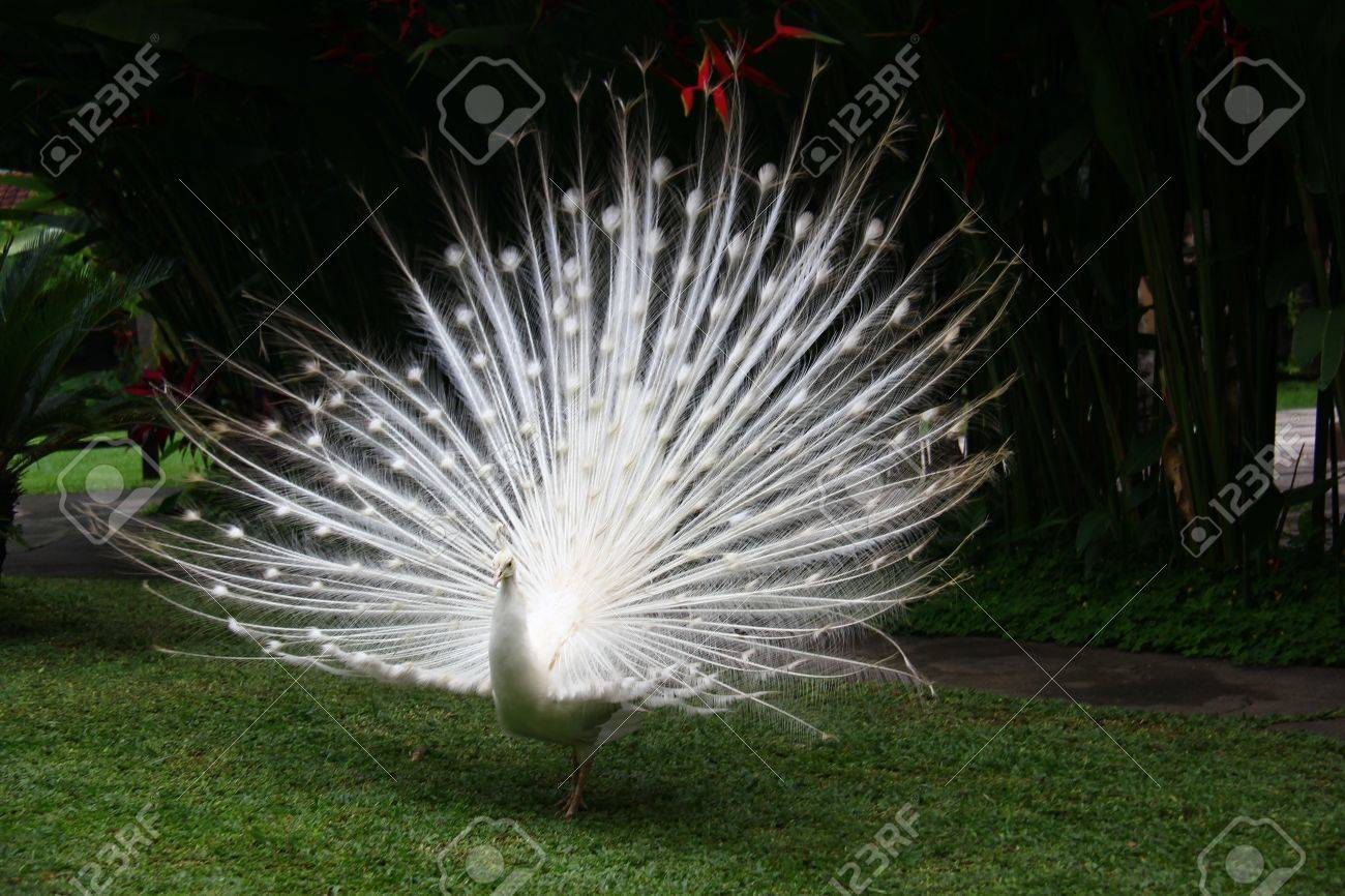 650 Koleksi Gambar Burung Merak Bali HD