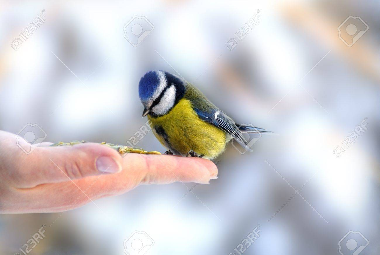 Bluetit perched on a girls hand in a wintery scene Stock Photo - 14511127