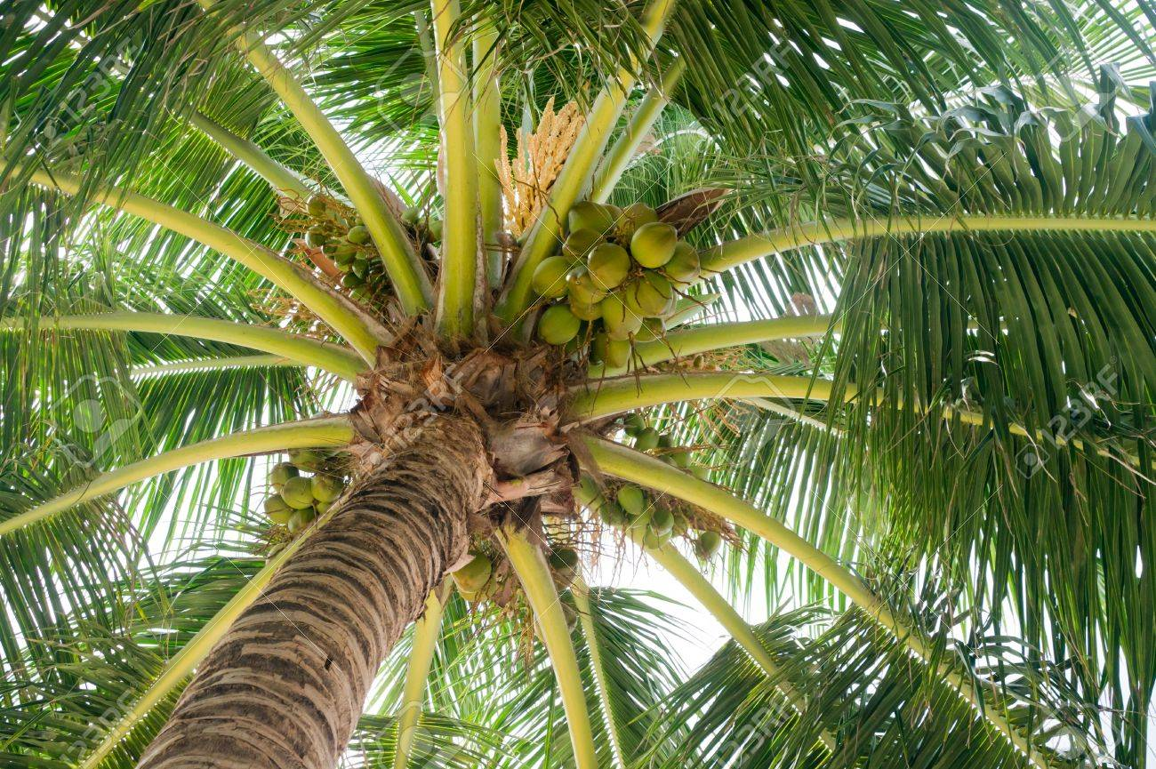 The Wide Round Crone Of A Palm Tree With Fruits And Colors, Is ...