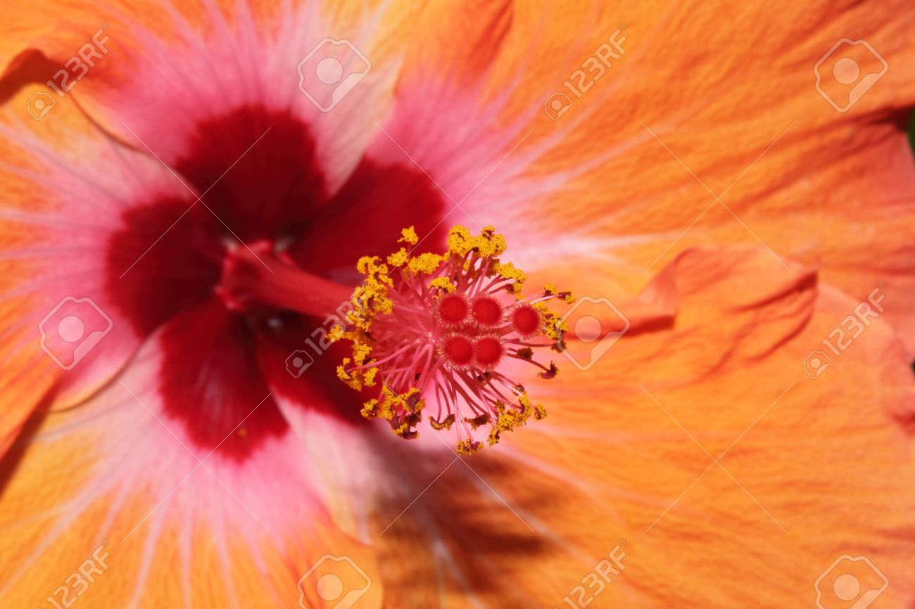 Closeup Of A Hibiscus Flower Pistil And Stigma With Pollen Stock