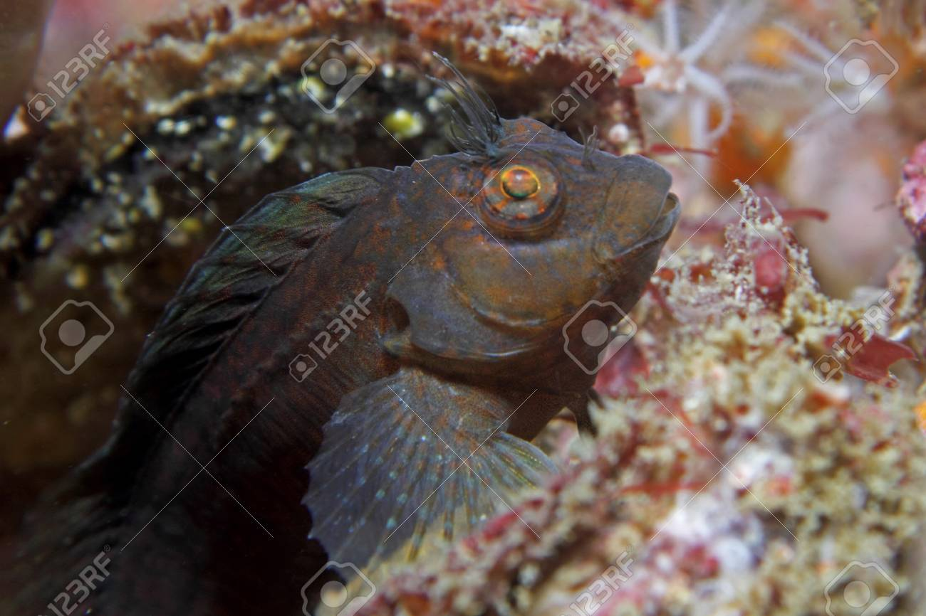 A Hairy blenny rests on a shipwreck Stock Photo - 21563834
