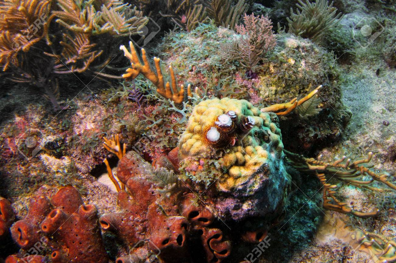 Christmas In Florida Keys.Reefscape With Christmas Tree Worms And Coral In Florida Keys