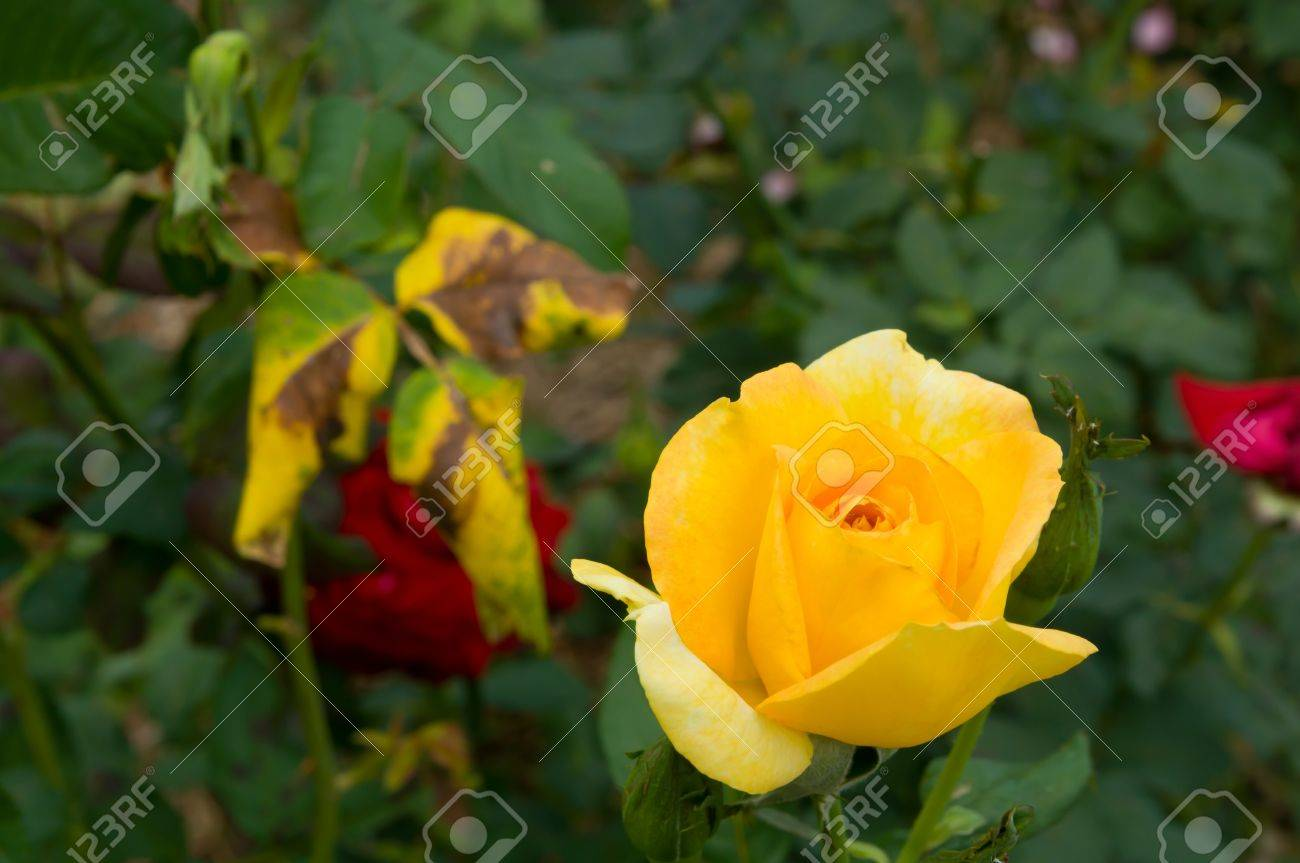 yellow Rose on the Branch in the Garden Stock Photo - 13228094