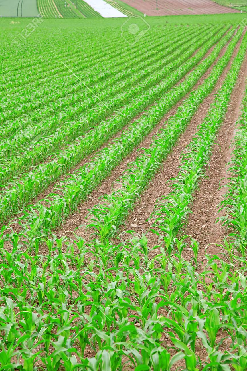 young green corn seedling on the field Stock Photo - 12888111