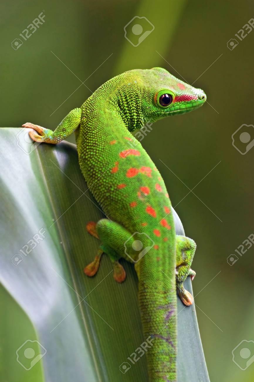 Green gecko on the leaf - 22759706