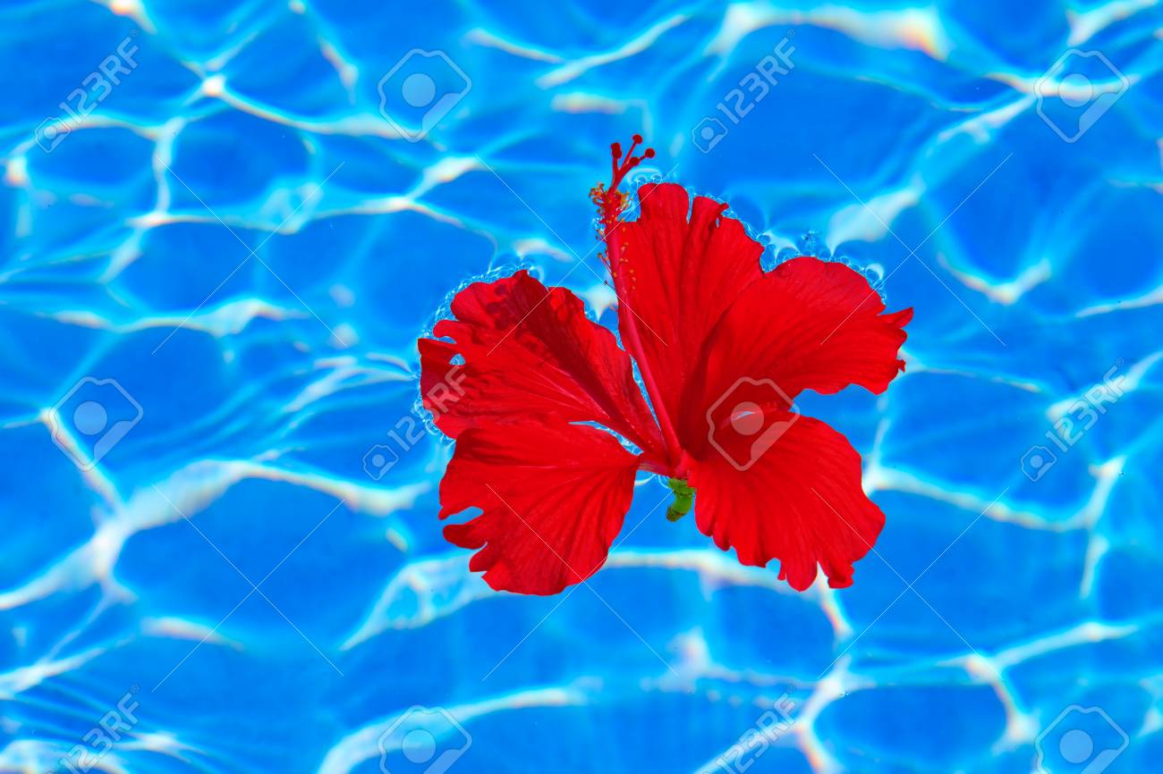 Tropical Hibiscus Flower Floating In Blue Water Stock Photo Picture