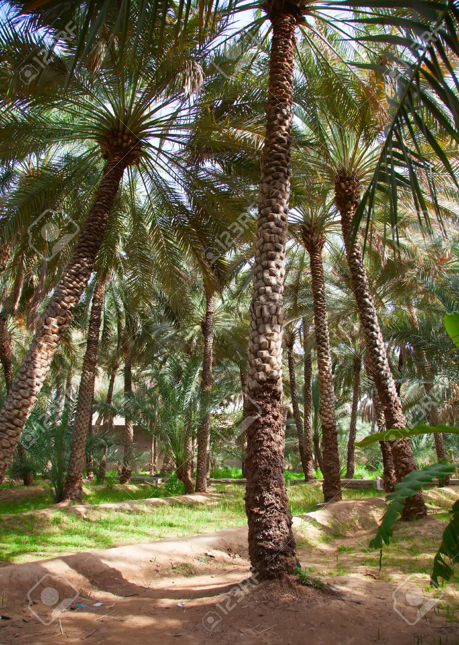 Palm Garden In The Al Ain Oasis Stock Photo, Picture And Royalty ...