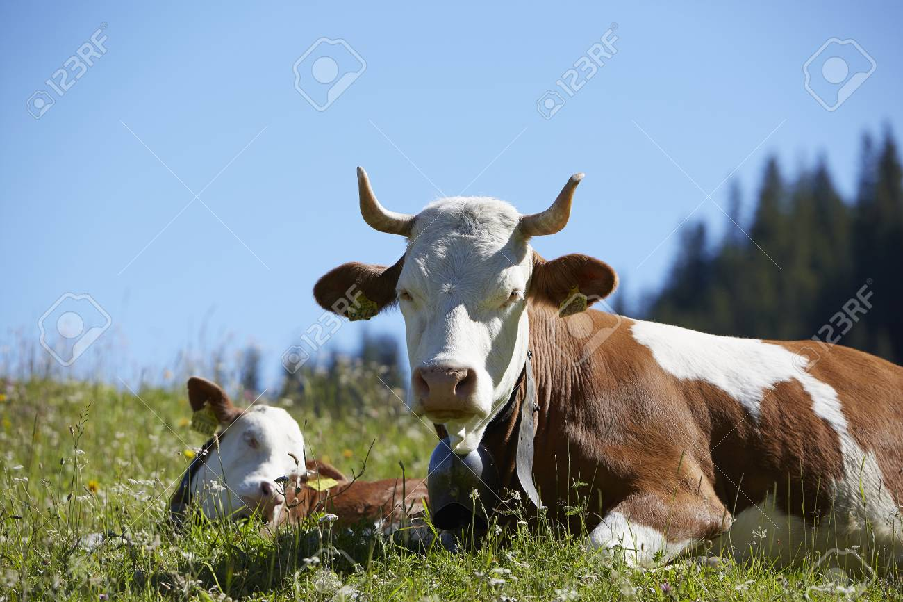 Brown white cow with horns in Bernese Alps, Switzerland - 104482115