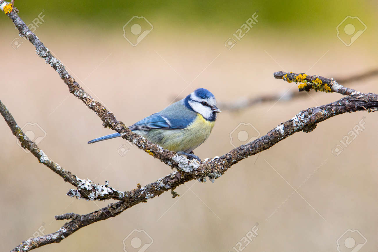 Blue Tit in garden Spring time. - 168268779