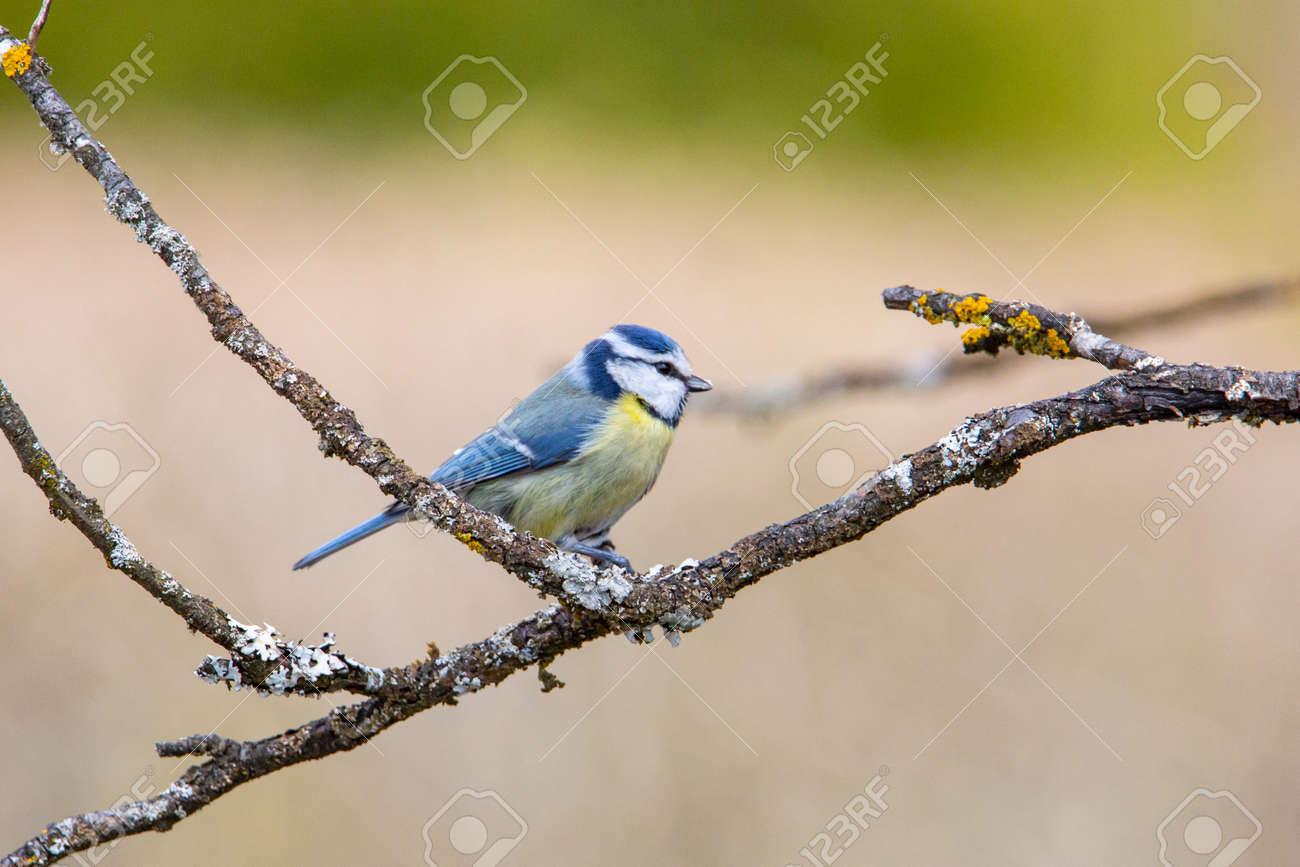 Blue Tit in garden in spring time - 168268781