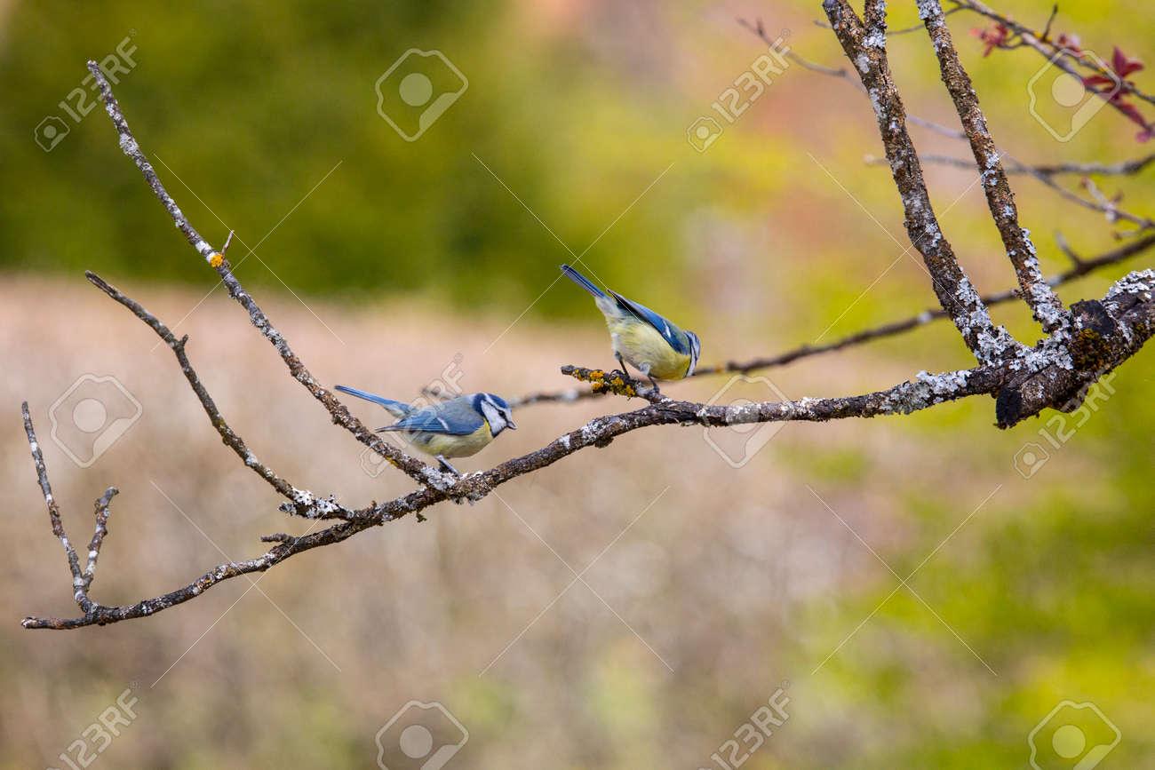 Blue Tit in garden in spring time - 168268778