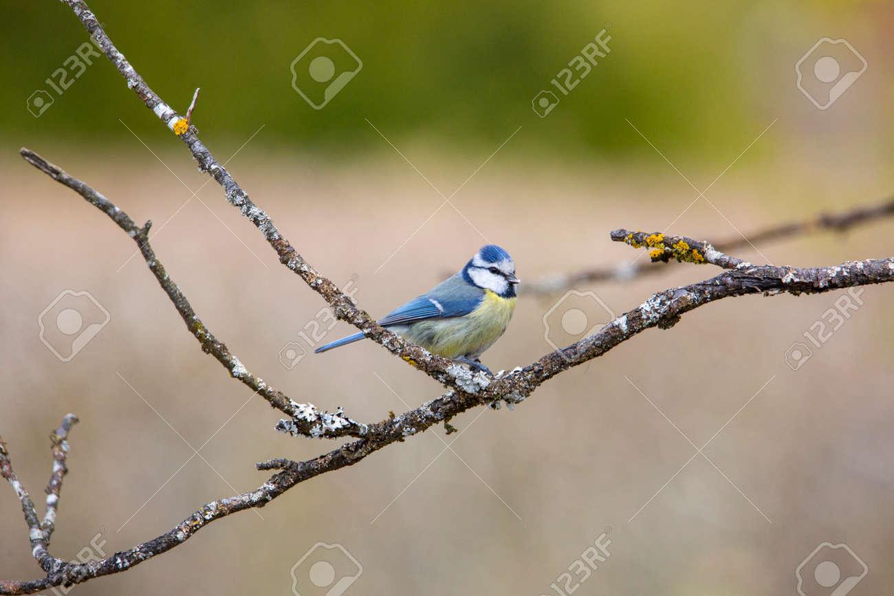 blue tit in garden spring time - 168268786