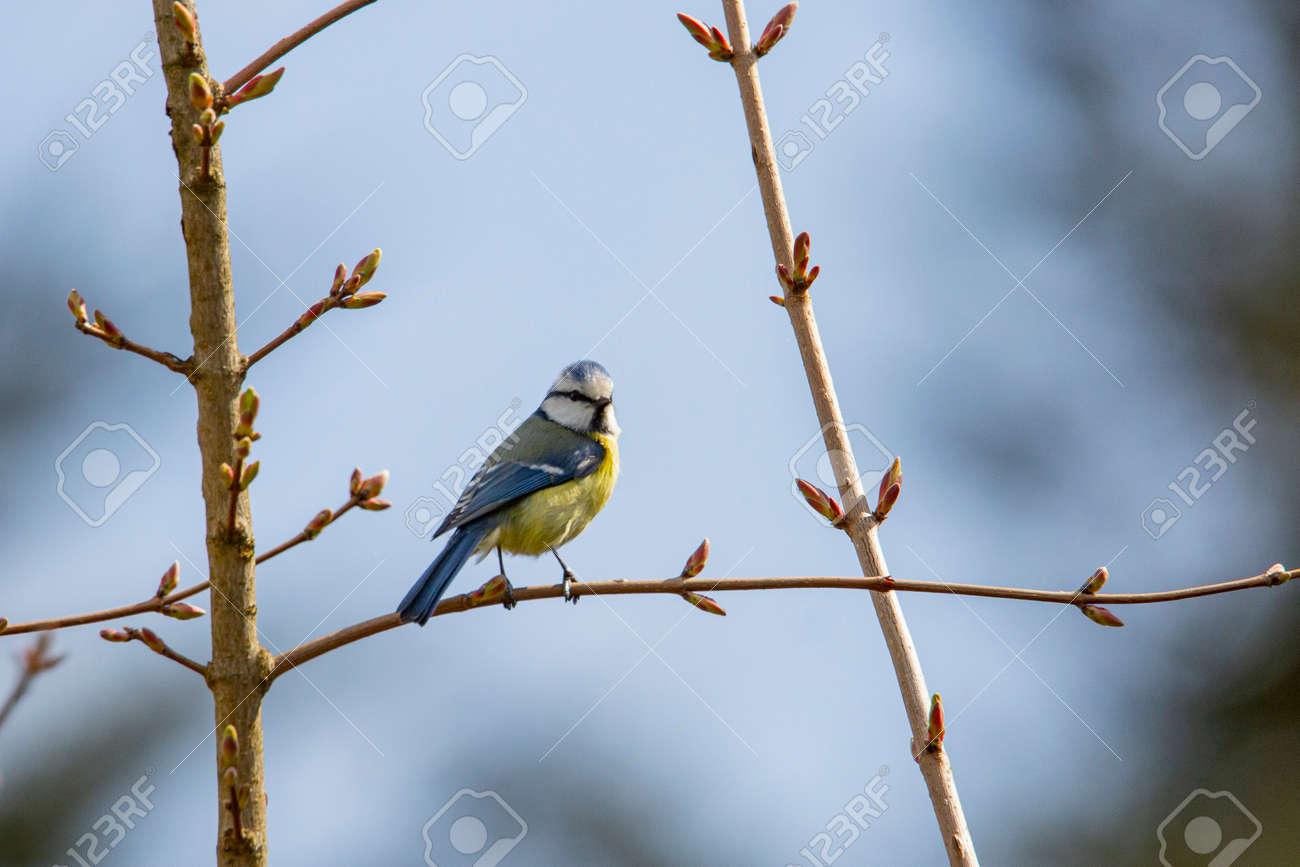 blue tit in garden spring time - 168268785
