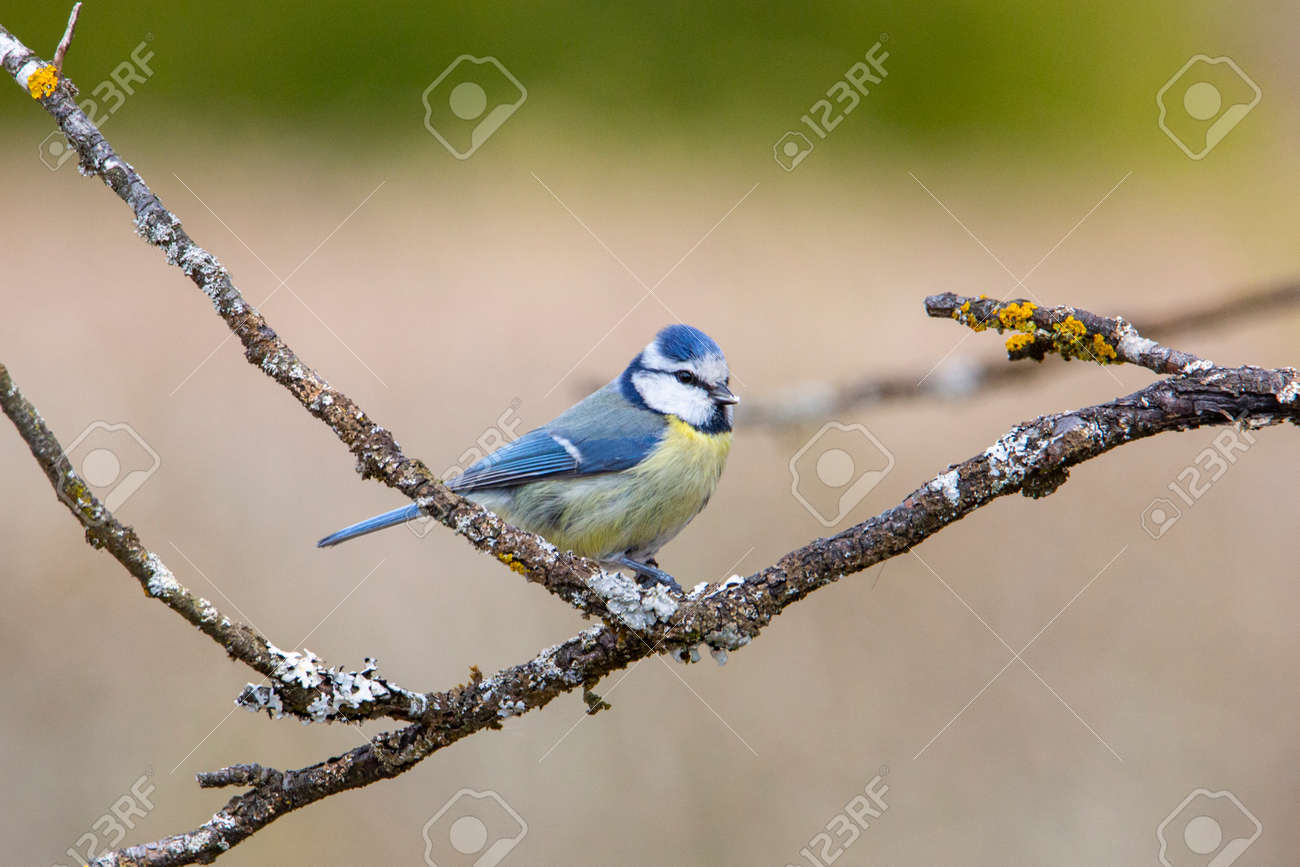 Blue Tit in garden Spring time. - 168268792