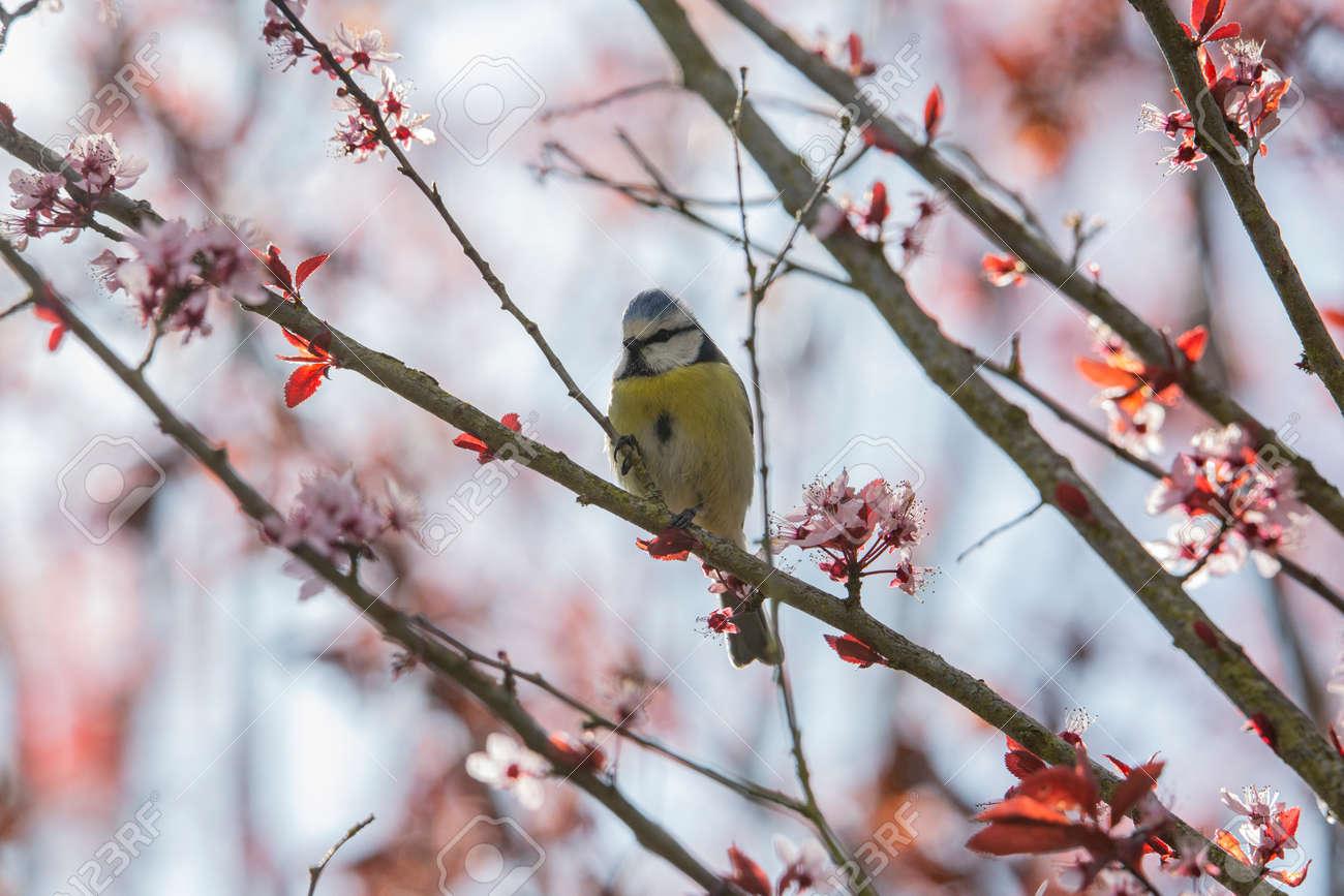 Blue Tit in garden in spring time - 168268793